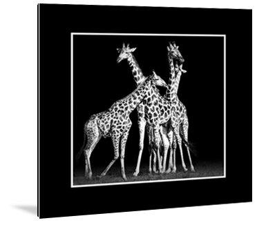 Dibond art - Groep giraffen