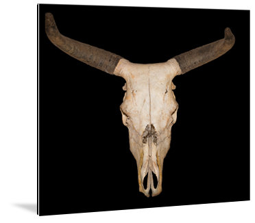 Dibond art - schedel