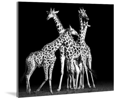 Dibond art - Giraffen
