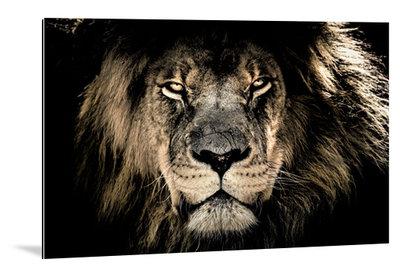 Dibond art - Leeuw